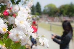 The beautiful rose season bloom Royalty Free Stock Image
