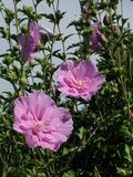 Rose of Sharron beauties Stock Photography