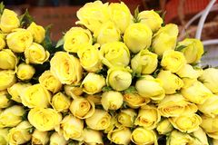 Lemon Yellow Roses stock photos