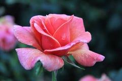 Beautiful rose Royalty Free Stock Photos