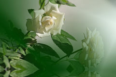 A beautiful rose. Royalty Free Stock Photography