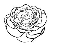Beautiful rose in the style of black and white engraving. Royalty Free Stock Photo