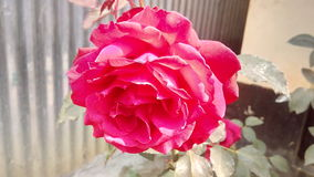 Beautiful rose. In sunny winter morning Stock Photos