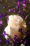 Beautiful rose surrounding with purple wildflowers Royalty Free Stock Images