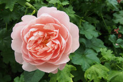 Beautiful rose with sweet light orange petal Royalty Free Stock Photo