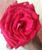 Beautiful Rose Sweet propose flower royalty free stock images