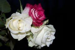 Beautiful rose stock images
