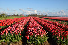 Beautiful rose tulips in netherlands Stock Image
