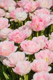 Beautiful Rose Tulips in Spring royalty free stock photography