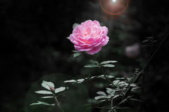 Beautiful Rose in sunshine Stock Images