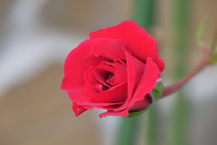 Beautiful rose. Unedited photo with a beautiful rose royalty free stock images