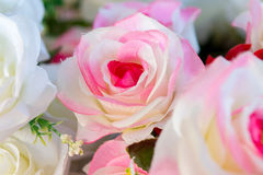Beautiful rose Royalty Free Stock Images