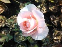 Beautiful rose. Valentines week pink rose stock images