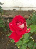 Beautiful Rose royalty free stock photo