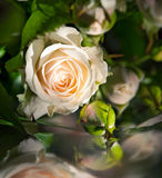 Beautiful rose with water droplets Royalty Free Stock Photos