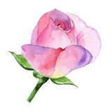 Beautiful Rose Watercolor Hand-painted Isolated On White Background. Royalty Free Stock Image
