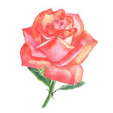 Beautiful rose watercolor hand-painted isolated on white background. Royalty Free Stock Images