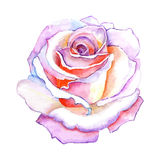 Beautiful rose watercolor hand-painted isolated on white background. Royalty Free Stock Photo