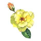 Beautiful rose watercolor hand-painted isolated on white background. Royalty Free Stock Photography