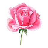 Beautiful rose watercolor hand-painted isolated on white background. Stock Image