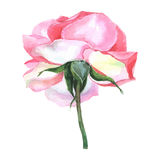 Beautiful rose watercolor hand-painted isolated on white background. Stock Photo