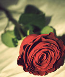 Beautiful rose on white background. Beautiful red rose close up Stock Photography