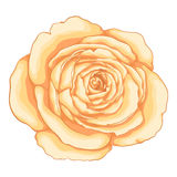 Beautiful rose  on white background. Stock Photo