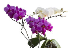Beautiful rose and white orchids. Stock Photo