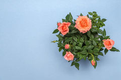 Beautiful rose in white pot on a blue background Stock Photo