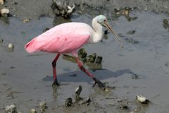 South Carolina wildlife nature background. Beautiful roseate spoonbill bird looking for food in a salt marsh water at Huntington Beach State Park. Litchfield stock photography