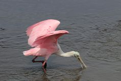 South Carolina wildlife nature background. Beautiful roseate spoonbill bird looking for food in a salt marsh water at Huntington Beach State Park. Litchfield stock photos