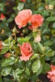 Beautiful rosebud Stock Photo