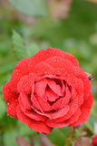 Beautiful rosebud red rose with drops of water on the background of green leaves in blur Royalty Free Stock Images