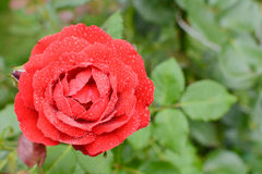 Beautiful rosebud red rose with drops of water on the background of green leaves in blur Stock Photos