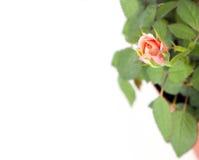 Beautiful rosebush in a pot Royalty Free Stock Photo
