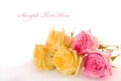 Beautiful roses Stock Photos