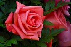 Beautiful Roses. Stock Photos