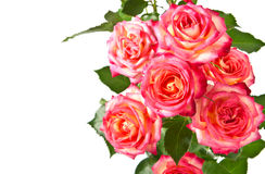 Beautiful roses. Stock Image