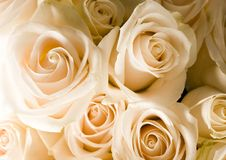 Beautiful roses. Rose (Rosa), a kind of flower which belongs to the rose-like family, includes over 200 species (according to some researchers up to a few royalty free stock photography