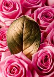 Beautiful roses. Rose (Rosa), a kind of flower which belongs to the rose-like family, includes over 200 species (according to some researchers up to a few stock photos