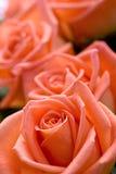 Beautiful roses Royalty Free Stock Image