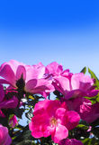 Beautiful roses against blue sky Stock Photo