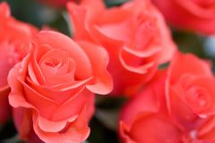 Beautiful roses background stock images