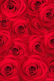 Beautiful roses background Royalty Free Stock Photo