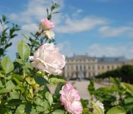 Beautiful roses and beautiful Baroque and Rococo. Rundale Palace is one of the most outstanding monuments of Baroque and Rococo art in Latvia. It was built Stock Photography