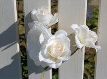 Beautiful Roses Blooming In Spring Against A White Painted Front Fence Stock Photography