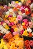 Beautiful roses blooms Stock Photos