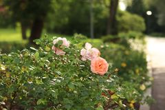 Beautiful roses bush in garden. Pink pale roses bush. royalty free stock photography