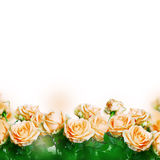 Beautiful roses Stock Images