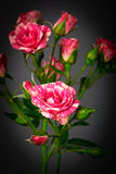 Beautiful roses close up Royalty Free Stock Photography